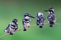 Kingfisher птицы пестрый Стоковое Изображение RF