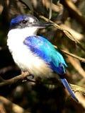 kingfisher пущи Стоковая Фотография RF