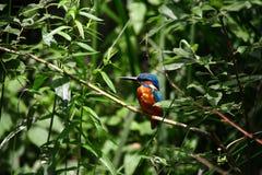 Kingfisher садить на насест на ветви Стоковые Изображения RF
