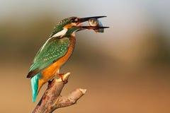 Kingfisher сидя на ручке с добычей в клюве Стоковая Фотография RF