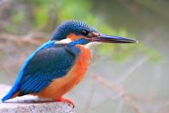 Kingfisher смотрит рыб Стоковое Фото