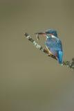 Kingfisher с малой рыбой стоковое фото rf