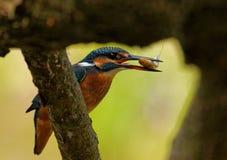 Kingfisher с рыбами в клюве, концом Стоковые Фото