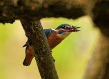 Kingfisher с рыбами в клюве Стоковое Изображение RF