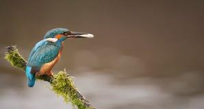 Kingfisher с рыбами Стоковые Изображения