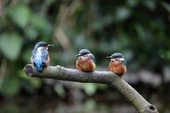 kingfisher цыпленоков Стоковое фото RF