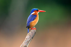 малахит kingfisher Стоковое Фото