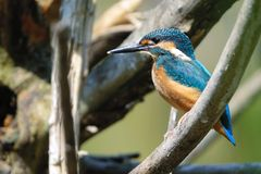 kingfisher Royaltyfria Bilder