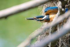 kingfisher Arkivbilder
