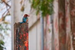 kingfisher Imagens de Stock