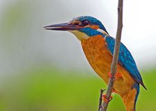Kingfisher Stock Images