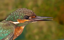 Kingfisher. Close up portrait of a kingfisher Royalty Free Stock Photos