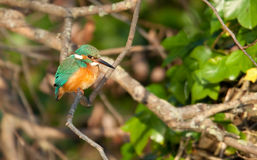 Kingfisher. View of a kingfisher perched on a branch in evening sun Stock Photography