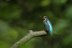 Kingfisher. Stock Images