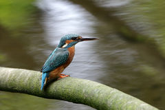 Kingfisher. Royalty Free Stock Photography