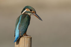 The Kingfisher Royalty Free Stock Images