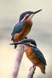 Kingfisher Стоковые Фотографии RF
