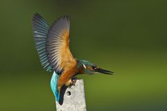 The kingfisher. (alcedo atthis) at the river Royalty Free Stock Photos