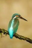 kingfisher Fotografering för Bildbyråer