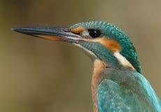 Kingfisher Stock Photos