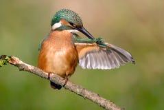 kingfisher Arkivfoton
