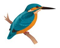 Kingfisher. Vector illustration of Kingfisher Bird Stock Photography