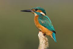 Kingfisher. On patrol, scouting for a fish or insect for it's offspring Stock Image