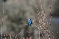 Kingfisher. Detailed image of an european common kingfisher Royalty Free Stock Images
