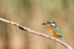 kingfisher Стоковые Изображения