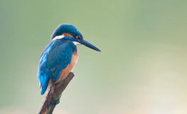 kingfisher royaltyfri bild
