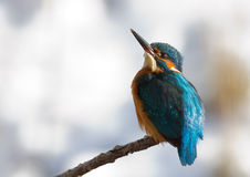 Kingfisher. Looks up to the sky Royalty Free Stock Image