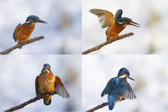 Kingfisher. S in a set on a branch Royalty Free Stock Photography