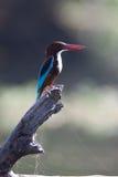 kingfisher Стоковое Изображение RF