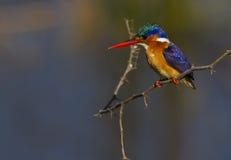 против малахита kingfisher предпосылки супер Стоковое Изображение