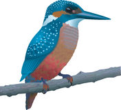 Kingfisher. Blue Kingfisher sitting on a branch Stock Image