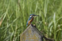 Kingfisher. Sits on a pile above the water of the old deep, Netherlands Stock Photos