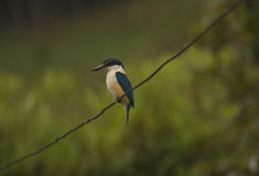 Kingfisher. On a wire Stock Image