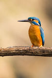 Kingfisher royaltyfria foton