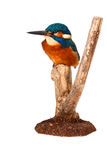 Kingfisher. A Beautiful picture of a colorful kingfisher Royalty Free Stock Photo