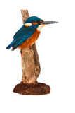 Kingfisher. A Beautiful picture of a colorful kingfisher Royalty Free Stock Photos