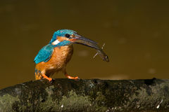The kingfisher Royalty Free Stock Photo