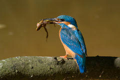The kingfisher. With caught frog Stock Image