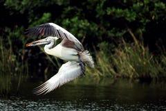 Kingfisher Стоковое Изображение