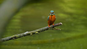 kingfisher almacen de video