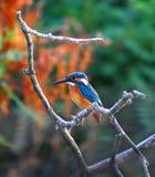 kingfisher Fotografía de archivo