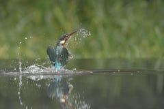 kingfisher royaltyfria foton