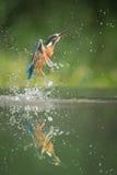 kingfisher royaltyfri bild