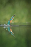 kingfisher Royaltyfria Bilder