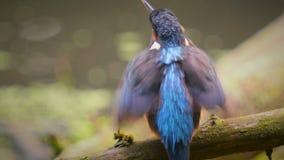 kingfisher almacen de metraje de vídeo