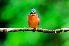 kingfisher Foto de Stock Royalty Free